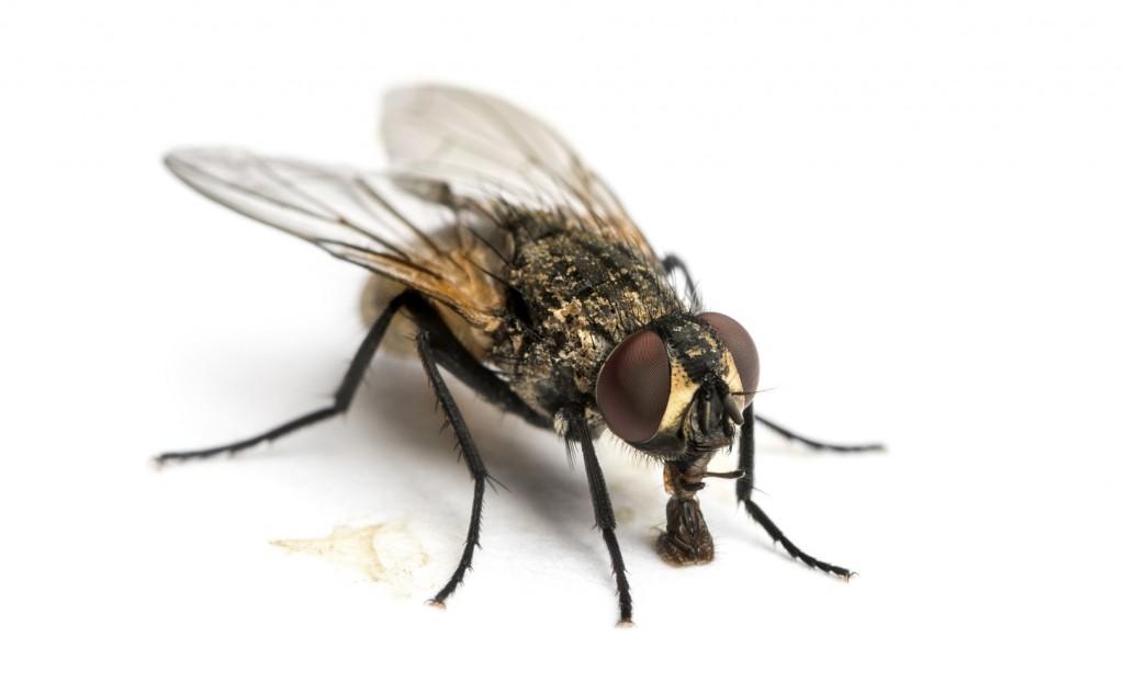 Les mouches :